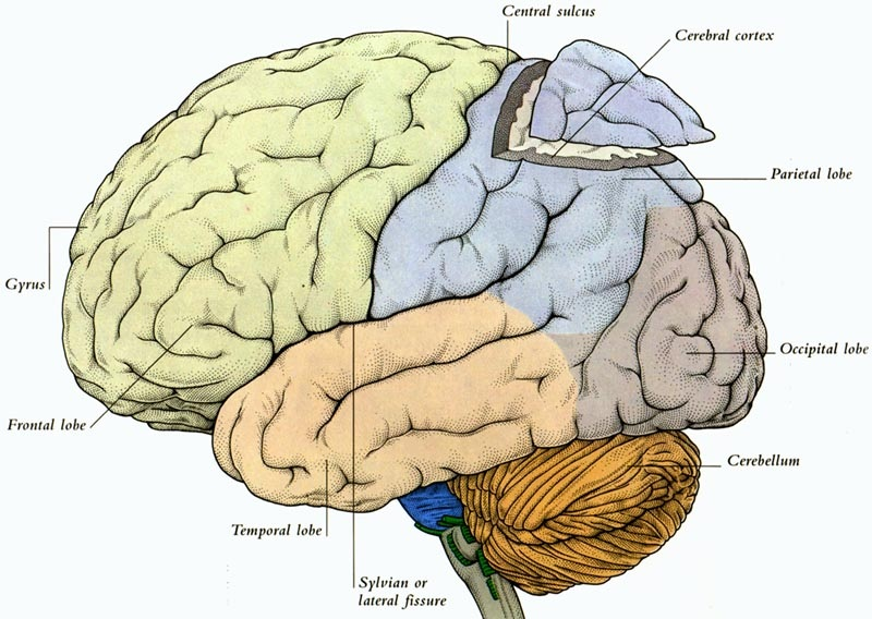 Cerebral Cortex Human Brain
